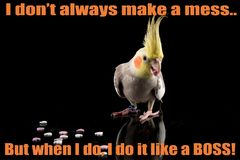 Funny Cockatiel Quote, cute parrot meme, eating small hearts, parrot eating heart shaped food. In studio on a reflective surface, isolated on black background stock photo