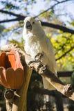 Funny Cockatoo Royalty Free Stock Image