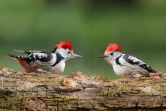 Funny collage with two middle spotted woodpeckers. On blurry green background Stock Photo