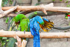 Funny colored large macaws pair Parrots Ara Stock Photo