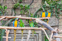 Funny colored large macaws pair Parrots Ara Royalty Free Stock Photography