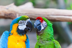 Funny colored large macaws pair Parrots Ara Stock Photos