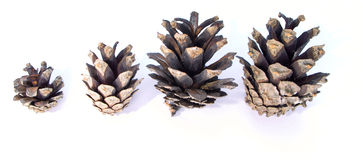 Funny composition of the evolution of growth of pine cones Royalty Free Stock Photos