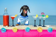 Funny cool dachshund dog drinking cocktails, licked, at the bar in a beach club party with ocean view royalty free stock photography