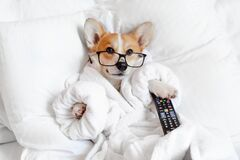 Free Funny Corgi Dog In Glasses Laying In Bed, Relaxing, Yawning, Smiling, Watching Tv, Feeling Bored And Relaxed In A Day Off Royalty Free Stock Photos - 181181218