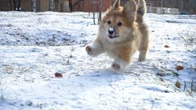 Funny corgi fluffy puppy walking outdoors. At the winter day stock footage