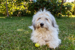 Funny Coton de Tulear. Picture of a funny adult Coton de Tulear playing with an apple in the garden Stock Photography