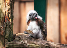 Funny cotton-top tamarin in open-air cage Stock Image