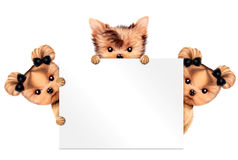 Funny Couple Of Puppies Holding Empty Banner Royalty Free Stock Image