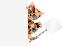 Funny couple of puppies holding empty banner. Funny couple of puppies with sunglasses holding empty banner, isolated on white. Community and friendship concept Royalty Free Stock Photo