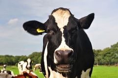 Funny cow. Curious cow take a look at the photographe Stock Image