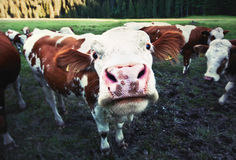 Funny cow. Funny closeup of a cow staring into the camera royalty free stock photos