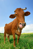 Funny cow Stock Image