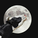 Funny cow on the background of large bright moon. A black and white cow moans at the moon. Farm animals royalty free stock image
