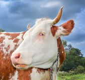Funny cow with big muzzle staring straight into camera and eating grass. Farm animals. Funny cute red and white spotted cow on the field with bright green Stock Image