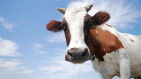 Funny cow on a farm looking at the camera. HD slowmotion. stock video