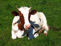 Funny cow in a field stock photography