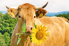 Funny cow with flower. Funny, brown cow with yellow sunflower Stock Photo
