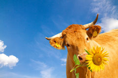 Funny cow with flower. Funny, brown cow with yellow sunflower Stock Photos
