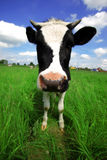Funny cow in green field stock images