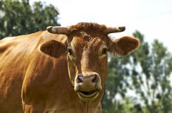 Funny cow on a green field royalty free stock image