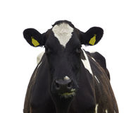 Funny cow isolated Royalty Free Stock Photo