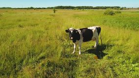 Funny cow look at flying drone at green meadow. Beautiful green summer meadow with a lonely cow. The animal looking at camera. Amazing aerial view from drone at stock footage