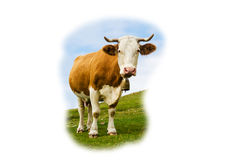Funny cow looking at you Stock Photo