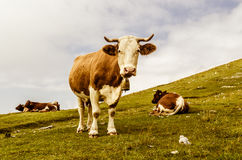 Funny cow looking at you Royalty Free Stock Photos