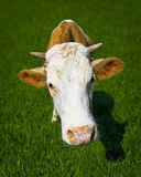 Funny cow on meadow - a close-up portrait Royalty Free Stock Photo