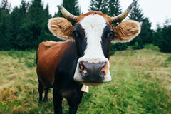 Funny cow on a meadow in forest Stock Image