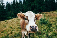 Funny cow on a meadow in forest Royalty Free Stock Photo