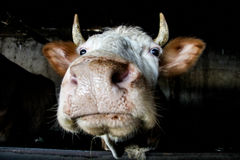 Funny cow muzzle looking at the camera. Russia Stock Photos