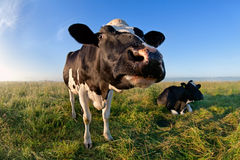 Funny cow muzzle via wide angle Stock Photography
