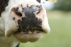 Funny cow nose Royalty Free Stock Image