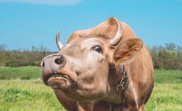 Funny cow in the pasture. Animal in Europe. Animal farm in Eastern Europe. Spring pasture and inquisitive funny cow Stock Images