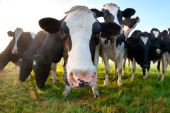 Funny cow on pasture close up Stock Photos