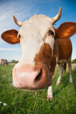 Funny cow on pasture. In summer Royalty Free Stock Image