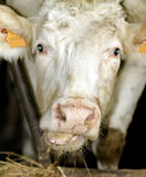 Funny cow portrait. Portrait of white cow's head Royalty Free Stock Image