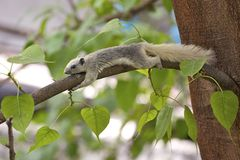 Funny coward squirrel. A coward squirrel grabbing a tree branch Stock Photo