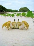 Funny crab in a sandy wild beach of Honey Island (Ilha do Mel), Royalty Free Stock Photos