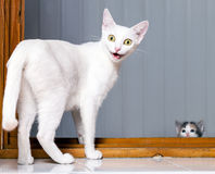 Funny Crazy Cat. Funny evil white cat with open mouth royalty free stock photo
