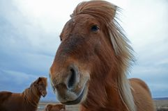 Funny and crazy Icelandic horse. the dark blue Icelandic sky stock images
