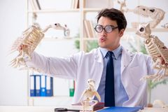 The funny crazy professor studying animal skeletons. Funny crazy professor studying animal skeletons stock photo