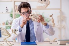 The funny crazy professor studying animal skeletons royalty free stock photo