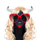 Funny crazy silly carnival calf cow royalty free stock image