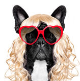 Funny crazy silly carnival dog. Funny crazy silly french bulldog dog wearing a blonde curly wig for mardi gras carnival or just for fun party, isolated on white Royalty Free Stock Image