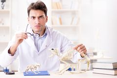 The funny crazy student doctor studying animal skeleton. Funny crazy student doctor studying animal skeleton Stock Images