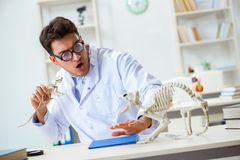 The funny crazy student doctor studying animal skeleton. Funny crazy student doctor studying animal skeleton Royalty Free Stock Photography