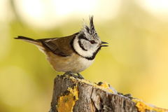Funny crested tit at garden bird feeder Stock Photo